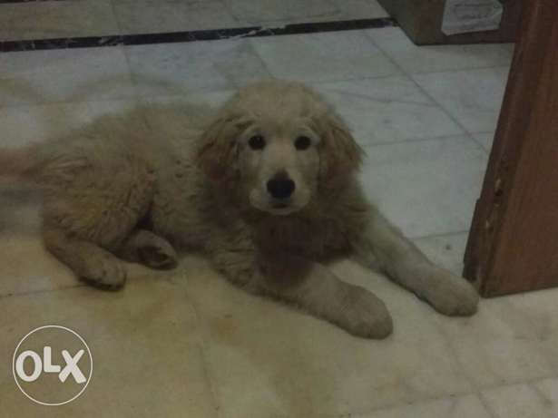 Pure Golden retriever male for sale, 200$ both age: 3 months