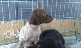 brack puppy for sale one month& a half in good health very playfull