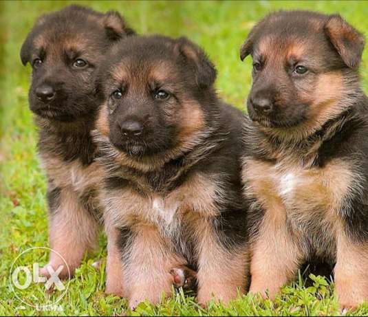 Mom German Shepherd for sale with 3 Puppies