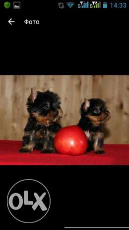 yorky best breed ever toy size for only 600$