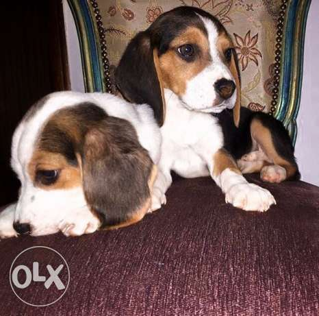 pure beagle puppies for sale