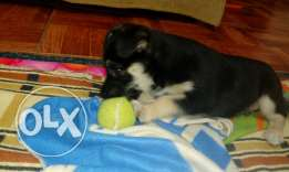 Berger puppy 40days male