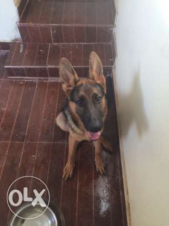GSD pure breed male 6 months كسروان -  1