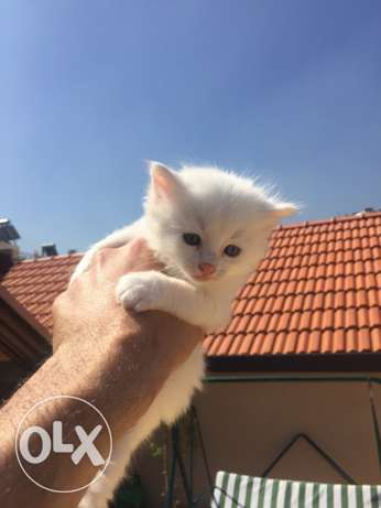 long hair very cute kittens / cats for sale