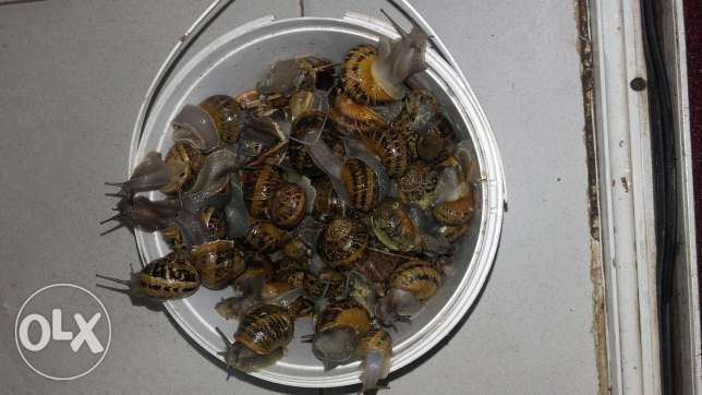 2kg escargots jambo vivants - SNAILS - بزاق بعبدا -  1
