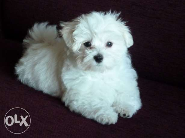 Bichon puppies المرفأ -  1