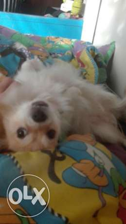 Need male lulu dog for mating
