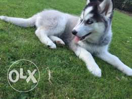 3 months old siberian husky puppy ready to go