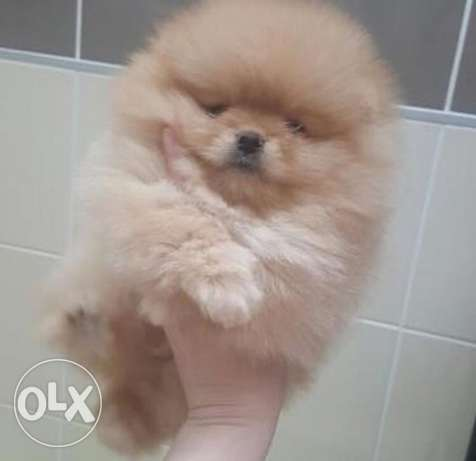 best tea cup pomeranian for only 700$
