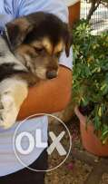 9 mixed rottweiler and swiss shepherd for sale