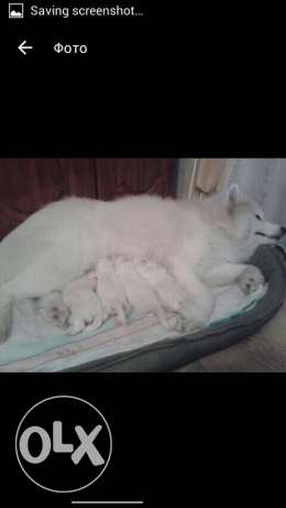 samoyed best breed for only 700$
