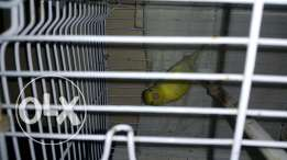 Melinois canary لغه ايطالي