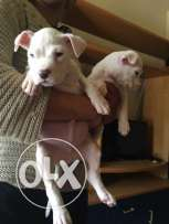 Pure Dogo Argentino Female Special offer