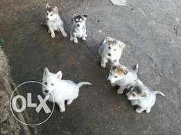 3 female siberian husky puppies for sale