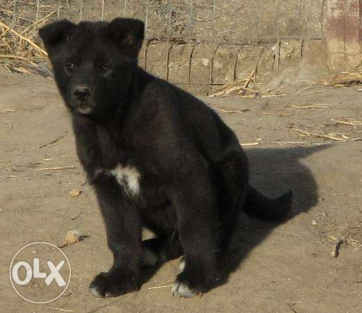 Black Hybrid puppy for sale