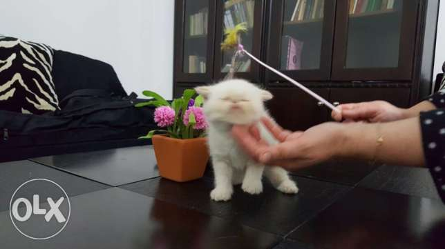 Persian Himalayan kittens 2 months old ,vaccine ,dewormed