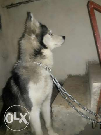 dog serpian husky for sale kter freindly