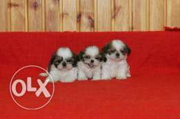 Shih tzu puppies Healthy for sale