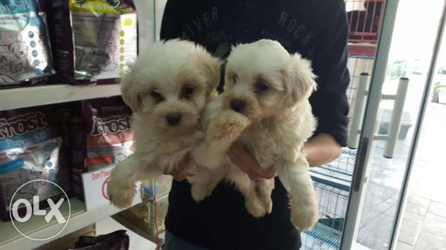 .bichon puppies