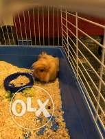 Guinea pig with the cage.