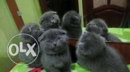 Imported Blue Scottish fold kittens