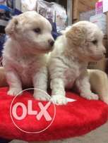 bichon puppies teacup 50 day