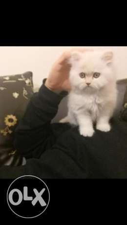 classic persian male(3 months)