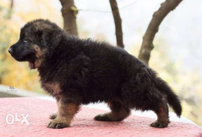 Top longhaired german shepherd for sale from multi-champion كسروان -  3