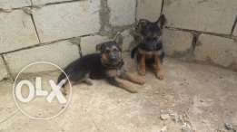 berger german shepherd pure 100% female 350$