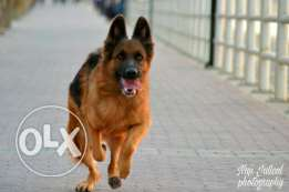 german shepherd top breed