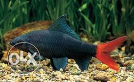 Redtail shark fish ( small size )