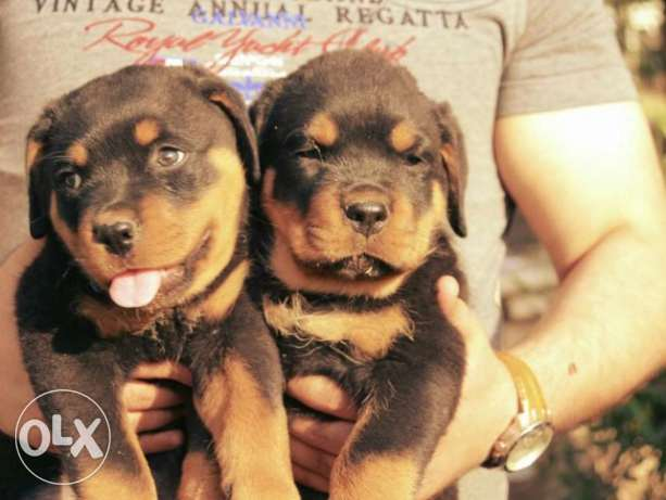 Imported rottweiler puppies for sale