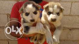 husky puppies siberian