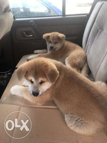 japanese akita inu for sale only 800
