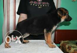 Top GSD puppies for sale