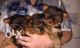 Adorable Tea Cup Yorkshire Terrier Puppies