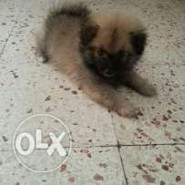 Selling Pomeranian german spitz