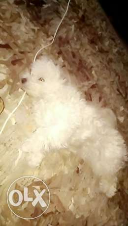 Pure breed female bichon