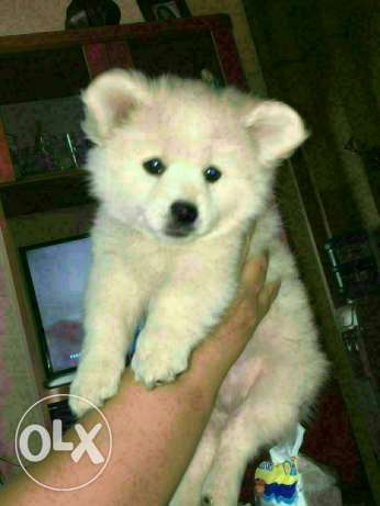 Loulou puppies for sale بعبدا -  4