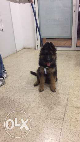 German Shepherd Puppies; عرمون -  7