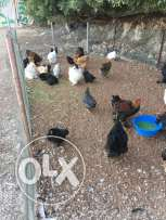 chicken brahma and cochine for sale