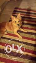 loulou spitz for sale vaccinated 1 year old very clean
