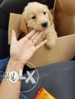 Female Golden Retriever for sale