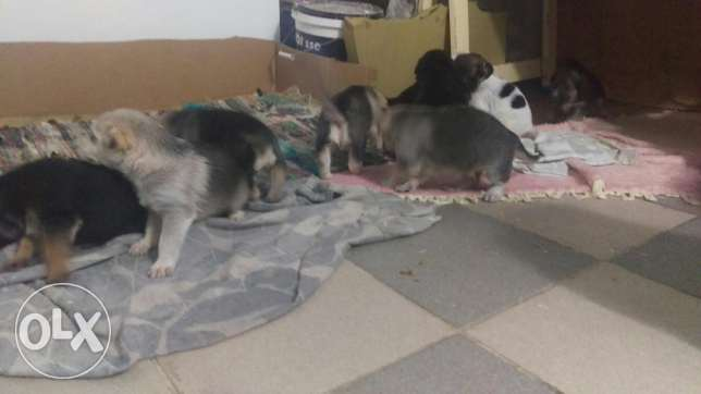 New born puppies for sale ذوق الخراب -  1