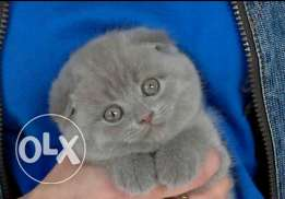 Cats Scottish fold