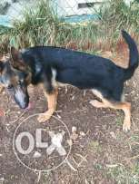 German shepherd pure and trained 6 month old and he is vaccinated