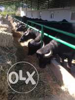 buffalos for sale