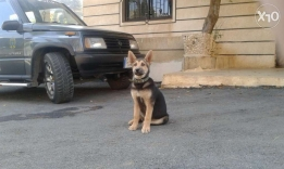 German shepherd pure