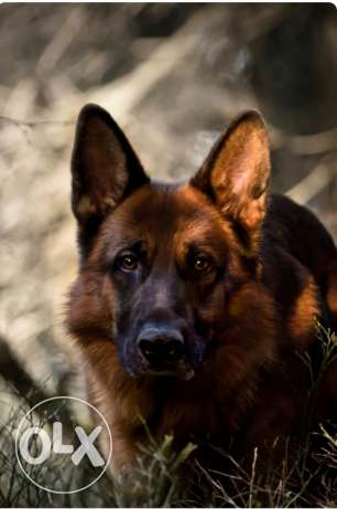 Pure male german shepherd for mating
