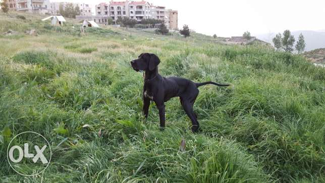 Pointer male mdarab for sale